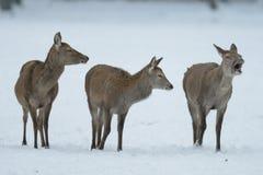 Groupe de cerfs communs rouges se tenant pendant l'hiver Image libre de droits