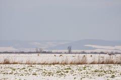 Groupe de cerfs communs sur le champ neigeux Images stock