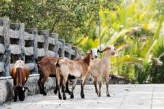 Groupe de chèvres Photo libre de droits