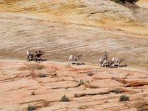 Groupe de chèvres de montagne sauvages Photographie stock libre de droits