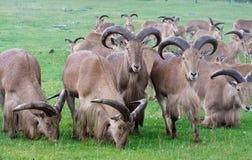 Groupe de chèvres sauvages sur l'herbe Image libre de droits