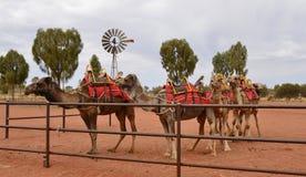 Groupe de chameaux images stock