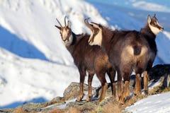 Groupe de chamois à l'hiver en Slovaquie Photo stock
