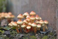 Groupe de champignons brun clair de touffe de soufre Photographie stock libre de droits