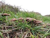 Groupe de champignons bruns dans l'herbe images libres de droits