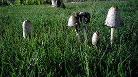 Groupe de champignons dans l'herbe image libre de droits