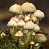 Groupe de champignons de couche Photo stock