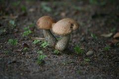 Groupe de champignons magiques sur la mousse à l'arrière-plan scénique de forêt Boletus comestible de champignon de forêt Image libre de droits