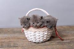 Groupe de chatons dans un panier Images stock