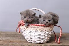 Groupe de chatons dans un panier Image stock