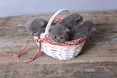 Groupe de chatons dans un panier Photo stock