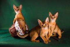 Groupe de chats abyssiniens sur le fond vert-foncé Images stock