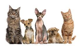 Groupe de chats et de crabots devant le blanc Images stock