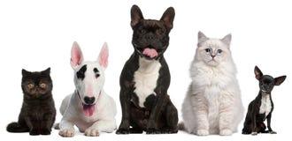 Groupe de chats et de crabots se reposant devant le blanc Images stock