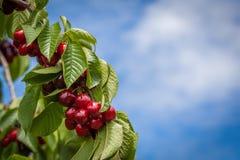 Groupe de cherris rouges mûrs et délicieux accrochant sur la branche d'arbre W Images libres de droits