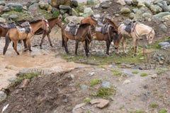 Groupe de chevaux à côté de courant boueux Photos stock