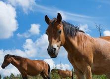 Groupe de chevaux dans Lojsta Hed, Suède Photo libre de droits
