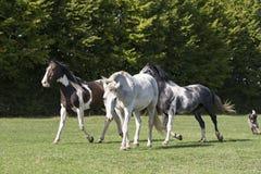 Groupe de chevaux dans un domaine d'herbe Photographie stock libre de droits