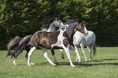 Groupe de chevaux dans un domaine d'herbe Photo stock