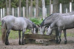 Groupe de chevaux de race mangeant du fourrage à la ferme d'animaux rurale Troupeau de chevaux mâchant la nourriture fraîche l'ét Photos stock