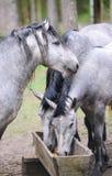 Groupe de chevaux de race mangeant du fourrage à la ferme d'animaux rurale Troupeau de chevaux mâchant la nourriture fraîche l'ét Photo libre de droits