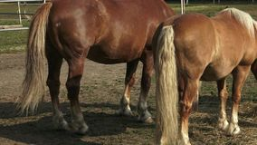 Groupe de chevaux mangeant le foin Chevaux mangeant le foin à la ferme banque de vidéos