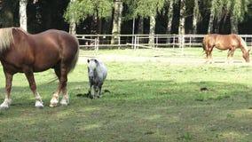 Groupe de chevaux mangeant le foin banque de vidéos