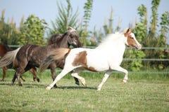 Groupe de fonctionnement miniature américain de chevaux images stock