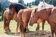 Groupe de chevaux de montagne Image libre de droits