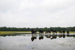 Groupe de chevaux noirs marchant dans l'eau d'une réserve naturelle les Hollandes Photographie stock