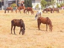 Groupe de chevaux sur un pré dans la ferme Image libre de droits