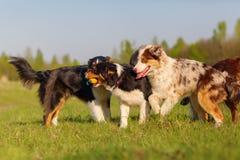 Groupe de chiens de berger australiens jouant dehors Photos stock