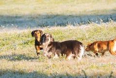 Groupe de chiens jouant extérieur Photographie stock