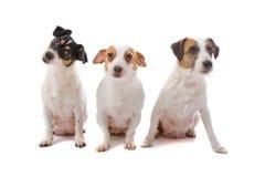 Groupe de chiens terriers de Jack Russel Image libre de droits