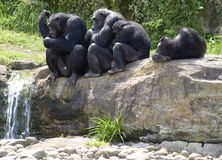 Groupe de chimpanzés par le flot Images stock