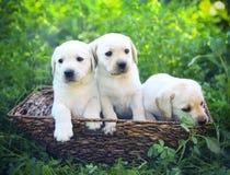 Groupe de chiots adorables de golden retriever dans la cour Images stock