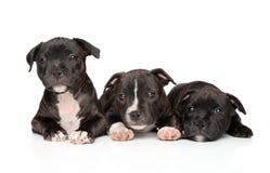 Groupe de chiots de bull-terrier du Staffordshire photographie stock
