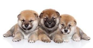 Groupe de chiots d'inu de Shiba photos libres de droits