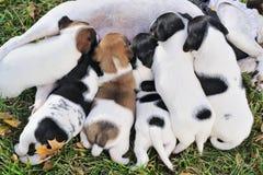 Groupe de chiots d'un cric Russell pour sucer le lait de leur mère Photographie stock