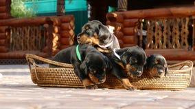 Groupe de chiots de dobermann dans le panier Image libre de droits