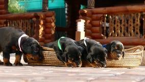 Groupe de chiots de dobermann dans le panier Photographie stock
