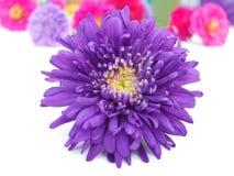 Groupe de chrysanthemum image stock