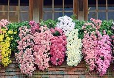 Groupe de chrysanthemums photographie stock
