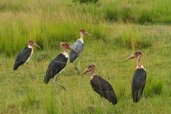 Groupe de cigogne de marabout dans les prairies Images stock