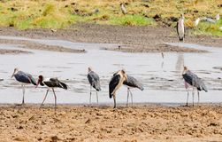 Groupe de cigogne de marabout à un point d'eau Photographie stock libre de droits