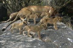 Groupe de cinq petits animaux de lion Photographie stock libre de droits