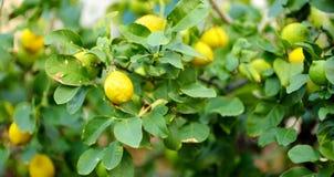 Groupe de citrons m?rs frais sur une branche de citronnier image stock
