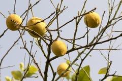 Groupe de citrons sur les branches Image libre de droits
