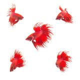 Groupe de collection de poissons de combat siamois de rouge orange Photo stock