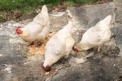 Groupe de consommation blanche de trois poules photo libre de droits